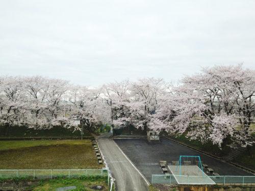 若栗城跡:舘山の桜