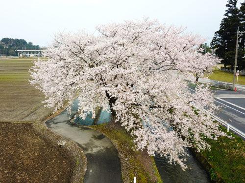 黒瀬川発電所横の桜